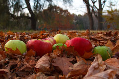 Autumn apples. Autumn fruits are rich in vitamins and healthy Royalty Free Stock Images
