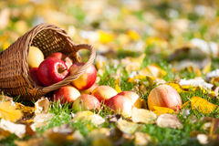 Autumn apples on grass. Basket of red juicy apples scattered on yellow leaves in autumn Stock Images