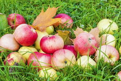 Autumn apples in grass Royalty Free Stock Photos