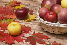 Autumn apples and maple leaf.  stock image