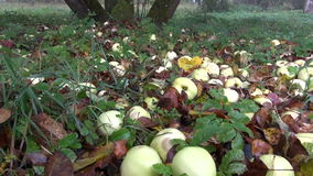 Autumn apples in old  garden and morning mist stock video