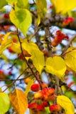 Autumn Apples Små äpplen på höstträd royaltyfria foton