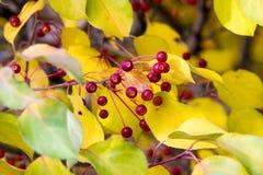 Autumn Apples Små äpplen på höstträd royaltyfri fotografi