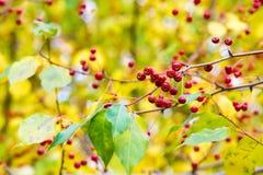 Autumn Apples Små äpplen på höstträd arkivbilder