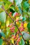 Autumn Apples Små äpplen på höstträd royaltyfri foto