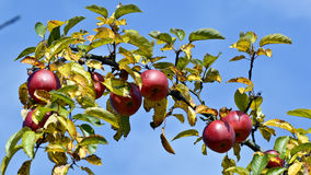 Autumn apples Stock Photo