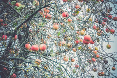 Autumn Apples on Tree Royalty Free Stock Photography