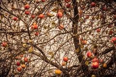 Autumn Apples on Tree Royalty Free Stock Image