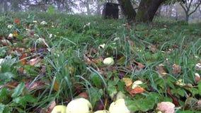 Autumn apples under apple tree in derelict farm garden. Autumn apples on grass under apple tree in derelict farm garden stock video footage