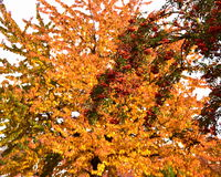 Autumn. Approaching beautiful colorful autumn leaves have not fallen but have become golden, red colors. Also rowan is full of ripe red fruits Stock Photo