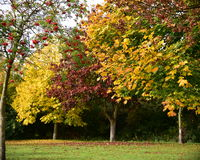 Autumn. Approaching beautiful colorful autumn leaves have not fallen but have become golden, red colors. Also rowan is full of ripe red fruits Royalty Free Stock Photo