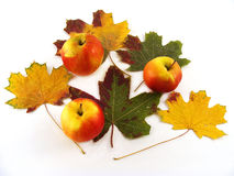 Autumn Arrangement. Three apples and five maple leaves are on a white background Stock Photography