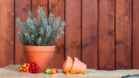 Autumn arrangement. Autumn arrangement with hebe flower, pots, pumpkins and red berries Royalty Free Stock Images