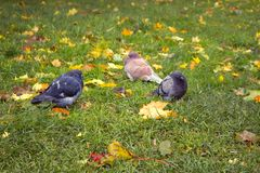 Autumn arrived in city. First frost on fallen yellow leaves and freezing pigeons. Walk in Park, autumn mood stock photos