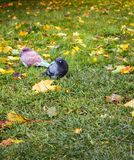 Autumn arrived in city. First frost on fallen yellow leaves and freezing pigeons. Walk in Park, autumn mood stock images