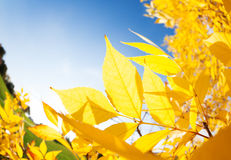 Autumn ash leaves and sun rays come through Stock Images