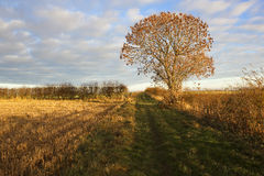 Autumn ash tree. An ash tree in autumn in golden sunlight with hedgerows and straw stubble under a patterned sky in a yorkshire wolds landscape Stock Photo