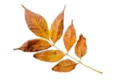 Autumn Ash Tree Leave Image libre de droits
