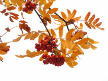 Autumn ashberry. On white background Royalty Free Stock Photo