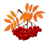 Autumn Ashberry isolated. With leaf Stock Photo