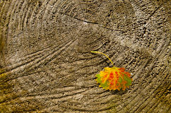Autumn asp leaf on wooden background Royalty Free Stock Image