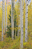 Autumn Aspen Royalty Free Stock Images