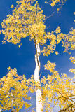 Autumn Aspen and Blue Sky Royalty Free Stock Photo