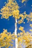 Autumn Aspen and Blue Sky. Autumn aspen trees shimmer against a deep blue autumn sky royalty free stock photo