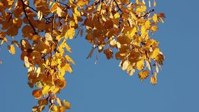 Autumn aspen branches over blue sky stock video footage