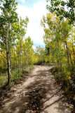 Autumn Aspen Dirt Road. A small mountain road bordered by young aspen trees starting to turn yellow in the mountains of Colorado above Boulder Royalty Free Stock Images