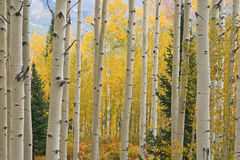 Autumn Aspen Elk Mountains Stock Photos