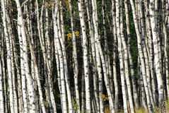 Autumn aspen forest Stock Image