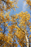Autumn aspen forest Royalty Free Stock Images