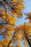 Autumn aspen forest Royalty Free Stock Image