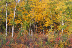 Autumn aspen forest and bush Stock Image