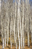 Autumn Aspen forest with white bark and blue sky Stock Photography