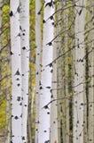 Autumn aspen grove stock photos