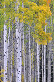 Autumn aspen grove Royalty Free Stock Photography