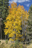Autumn aspen grove log fence Royalty Free Stock Images