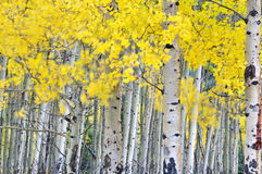 Autumn aspen grove in the wind Royalty Free Stock Image