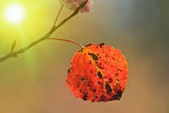 Autumn aspen leaf Stock Photography