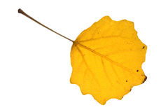 Autumn aspen leaf Royalty Free Stock Photography