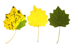 Autumn aspen leaves Royalty Free Stock Images