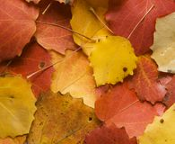 Autumn aspen leaves Stock Image