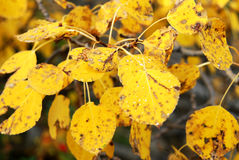 Autumn aspen leaves Stock Images