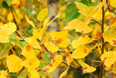 Autumn aspen leaves Royalty Free Stock Photography