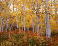Autumn Aspen Palette. Colorful autumn aspen grove on a chilly autumn day in western Colorado stock photo