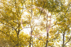 Autumn Aspen Poplar Trees with Sun Stock Image