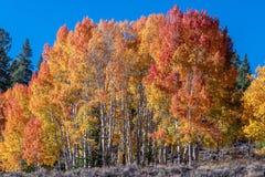 Autumn Aspen Row des arbres images stock