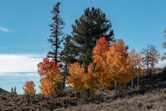 Autumn Aspen Row des arbres photos stock
